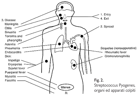 Streptococcinum_2012-fig2